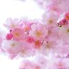 難しい設定不要! 桜と子供の写真を上手に撮る簡単な5つのコツ!