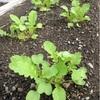 【間引】葉物、大根…と稲刈り