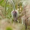 栃木県県民の森でオキナグサ(翁草)を撮ってきました。