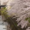桜と川と鳥と。