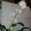 【『幸福の木』の「お花」の開花がさらにすすみました!…しかも、とっても良い匂いです♥…】#209