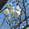 遅咲きの桜の現況