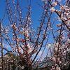 梅の花が、きれいに咲いていますよね。プラムっていうんスか英語で。