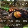 ゴシキカノコガイの飼育方法・混泳・繁殖について〜美しい苔とり貝〜