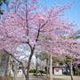 【宗吾霊堂】静かな宗吾霊堂で鮮やかな河津桜に会う  February 2020