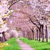 桜満開!北陸富山でお花見ができる格安キャンプ場ベスト5!