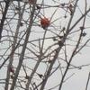 鳥遊ぶ小枝に揺るる木守柿