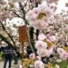 造幣局@大阪で桜の通り抜けをしてきた②