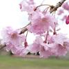 【写真修正・加工】桜は青空がいい!