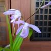 楚々とした青花紫蘭