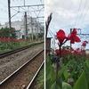 カンナ 真夏を象徴するような花.梅雨明け延期にもかかわらず,線路沿いで真っ盛り.日本に渡来したのは,江戸時代前期.日本人が長い間愛でてきた花といえます.始めにやってきたのはダンドク.現在観賞用に育てられているのは,野生種を掛け合わせてつくられた通称『ハナカンナ』.カンナ科は南国の香りが漂う夏の花があつまるショウガ目に属します.