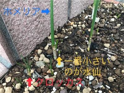 冬真っ只中〜水仙とクロッカスが芽を出し、ホメリアの葉が伸びてきました〜