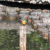 瓢箪池のカワセミ