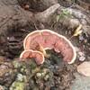 公園の桜の木にサルノコシカケっぽいキノコが生えてきてすこし心配