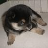 豆柴ユズの子育て日記(2020年)Part6 ~子犬らしいかわいらしさがでてきました~