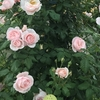 お知らせ バラの家の培養土の送料が高くなるようです。