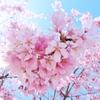 【それでも春はやってくる】 ~コロナ渦の春、近所の桜を眺めながら、いつもの道を歩く~ 《ひとことつぶやき~日本よりのちょっとした日常》 (#新型コロナウィルス #お花見自粛 #ソメイヨシノと河津桜 #桜前線2021)