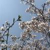 満開の桜のエネルギーにのせて🌸3つのエッセンスのご紹介🌸