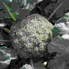 健康にも良い野菜のブロッコリー 大事なのは虫除けと、適切な追肥。これを忘れなければ大成功。