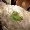 エノキの下の生物指標としてのワカバグモ