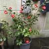 ツバキ  次々開花