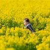 笠岡ベイファームで菜の花と子供の撮影