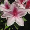 (347) Rhododendron × pulchrum