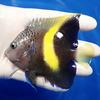 【現物3】wildマクロスス 10cm± !海水魚 ヤッコ 餌付け!15時までのご注文で当日発送【ヤッコ】
