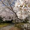 桜が満開🎵