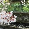 桜はこれでラストかな―伊豆の桜は満開~散りはじめ―