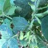サツマイモの間作した枝豆が。。