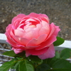 「フラゴナール」の二番花