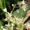 (303) Reynoutria japonica