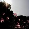 くりはま 花の国のコスモスを綺麗に撮れるか!?