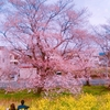 花見の名所・熊谷桜堤の開花状況リポート※2018.04.01追記