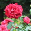 庄内緑地公園のバラ(その3)