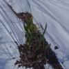 炭素循環農法で植え付け後の様子