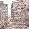 桜 2016
