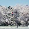 【青森】弘前公園の桜。
