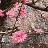大阪城桃園  桜と桃の共演  300401