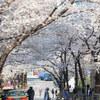 桜を求めて霞まで。