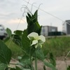 スナップエンドウの花が咲きました!でもアブラムシも現れました!
