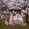 大峰山桜公園(新発田市貝屋)の桜
