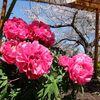 鎌倉、鶴岡八幡宮の牡丹と建長寺の桜。