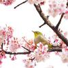 梅の季節到来!新宿御苑で梅とメジロを撮ってきた【2018.2.17】