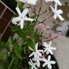 うちのジャスミンが咲きました