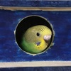 セキセイインコのヒナ29日目もうすぐ巣立ち。巣箱から顔を出す!