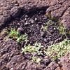 【一日一枚写真】アスファルトの中に茂る【スマホ】