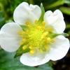 いちごの花が咲いているよ!いざ人工授粉!