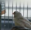 錦華鳥もオシャレをしたい!